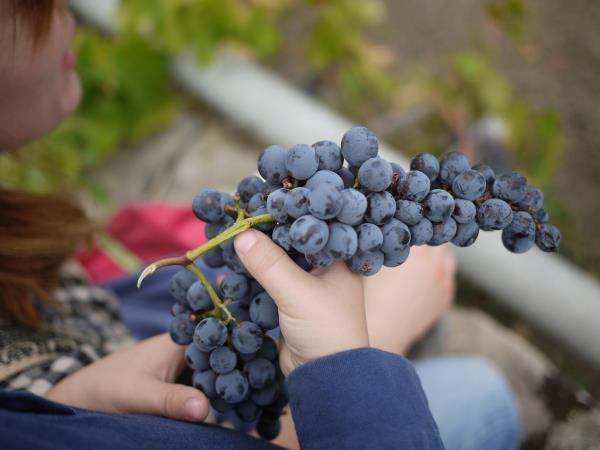 Sicily grapes