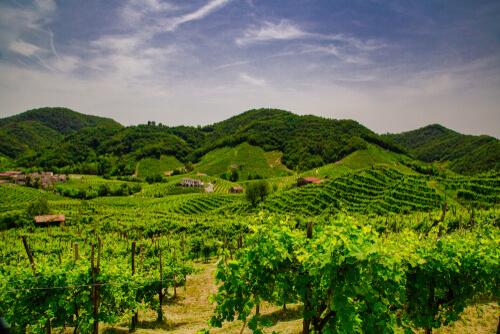 vineyards of Prosecco